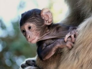 baby_barbary_macaque