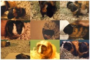 guineapogs
