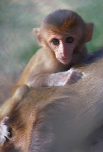 infant_rhesus