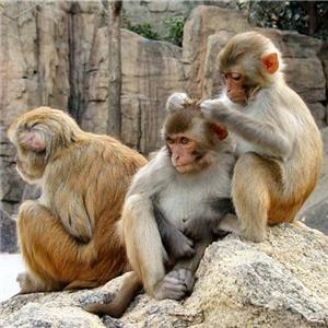 macaques-grooming