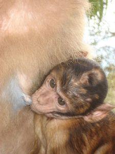 nursingbarbary_macaque_baby