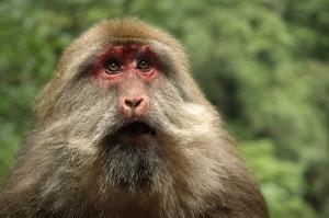 tibetan-macaque-macaca_thibetana