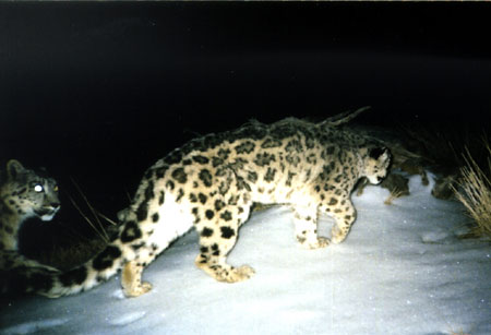 china_snow_leopards