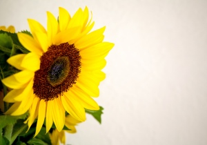 sunflower_on_white