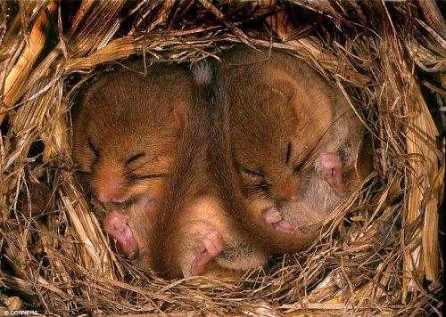 dormice hibernate