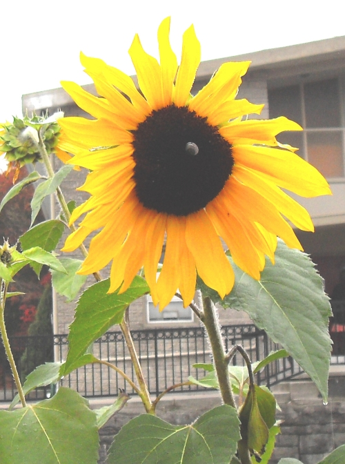 sunflower-post_halloween